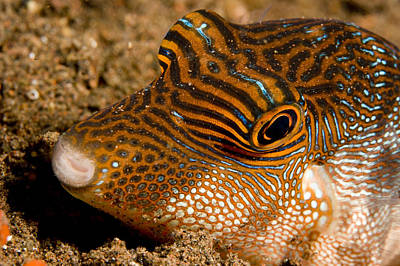 Closeup Of A Spotted Toby Canthigaster Print by Tim Laman