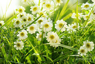 Closeup Of Daisies In Field Print by Sandra Cunningham