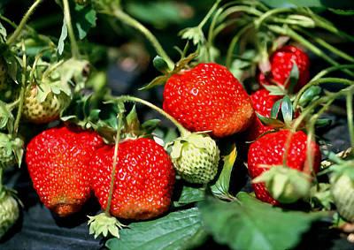 Closeup Of Fresh Organic Strawberries Print by Lanjee Chee