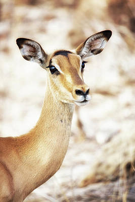 Closeup Of Impala In South Africa Print by Susan Schmitz
