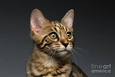 Cats Photograph - Closeup Portrait Of Bengal Male Kitty On Dark Background by Sergey Taran