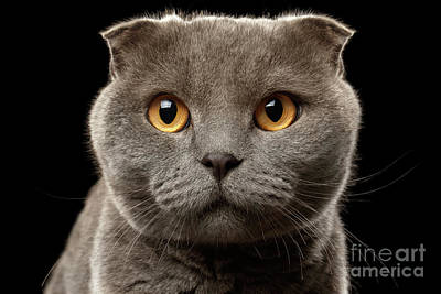 Closeup Portrait Of British Fold Cat On Black Print by Sergey Taran