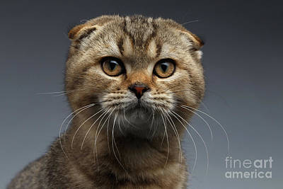 Closeup Portrait Of Scottish Fold Cat Looking In Camera On Gray Print by Sergey Taran