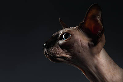 Hairless Cat Photograph - Closeup Portrait Of Sphynx Cat In Profile View On Black  by Sergey Taran