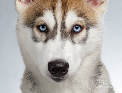 Closeup Siberian Husky Puppy With Blue Eyes On White  Print by Sergey Taran