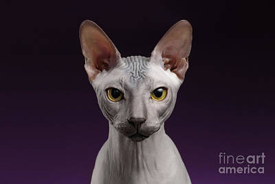 Closeup Sphynx Cat Looking In Camera On Purple Print by Sergey Taran