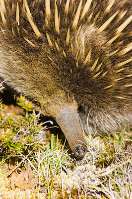Closeup Wildlife Photo On The Snout Of An Echidna Print by Jorgo Photography - Wall Art Gallery
