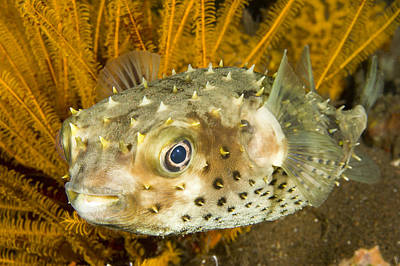 Porcupine Fish Photograph - Closeupf Of A Yellowspotted Burrfish by Tim Laman
