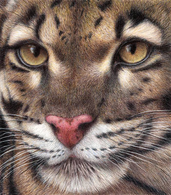 Color Pencil Drawing - Clouded Leopard by Pat Erickson