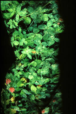 Clover Print by Arla Patch