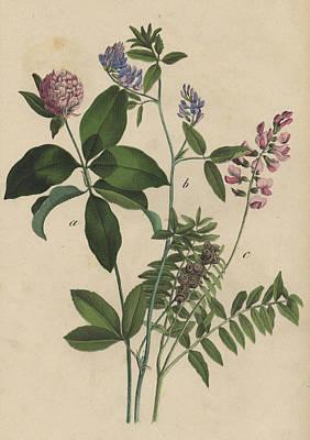 Clover Print by German Botanical Artist