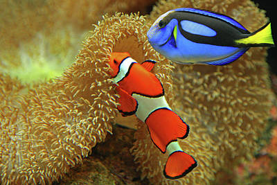 Multi Colored Photograph - Clownfish And Regal Tang by Aamir Yunus