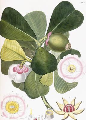 Clusia Rosea Print by Pierre Antoine Poiteau