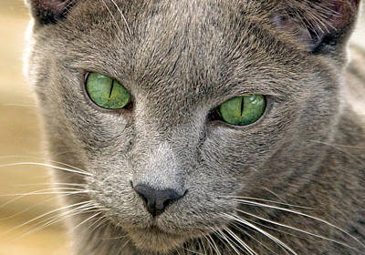 Prints Cat Photograph - Clyde And His Green Eyes by James Steele
