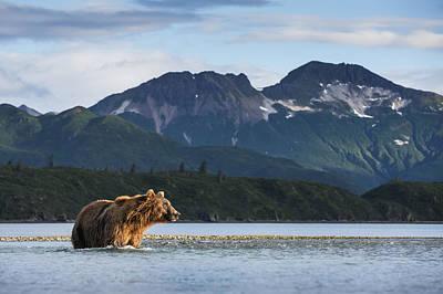 Coastal Brown Bear  Ursus Arctos Print by Paul Souders