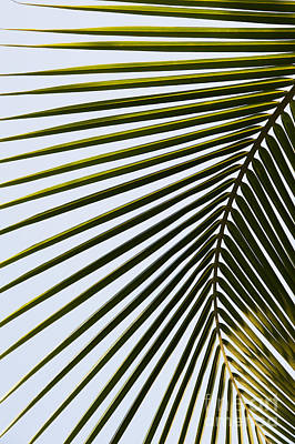 Tropical Leaves Photograph - Coconut Palm Leaf by Tim Gainey