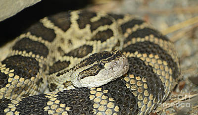 Snake Photograph - Coiled Rattlesnake by Marv Vandehey