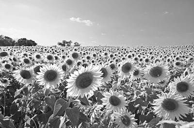 Colby Farms Sunflower Field Newbury Ma Black And White Print by Toby McGuire
