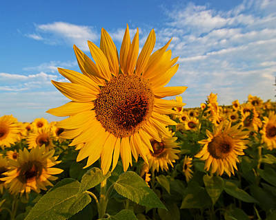 Colby Farms Sunflower Field Newbury Ma Sunrise Print by Toby McGuire
