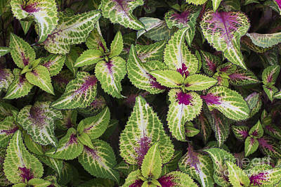 Variegated Photograph - Coleus Rose Lime Magic by Tim Gainey