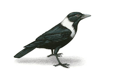 Collared Crow Original by Lionel Portier