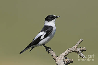 Flycatcher Photograph - Collared Flycatcher by Richard Brooks/FLPA