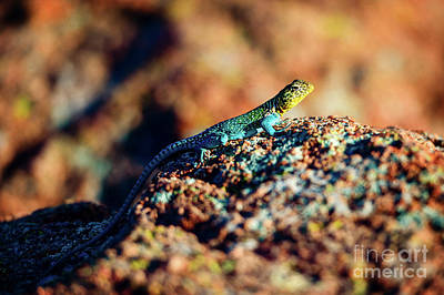 Collared Lizard Print by Tamyra Ayles