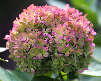 Pink Flower Photograph - Color-changing Little Lime Hydrangea by Rona Black