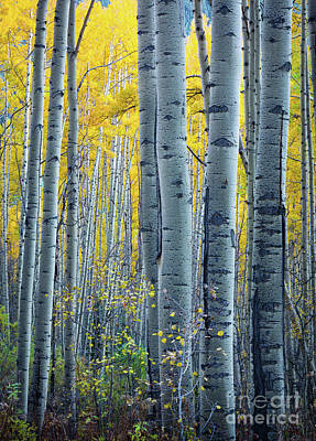 Fall Foliage Photograph - Colorado Aspens by Inge Johnsson