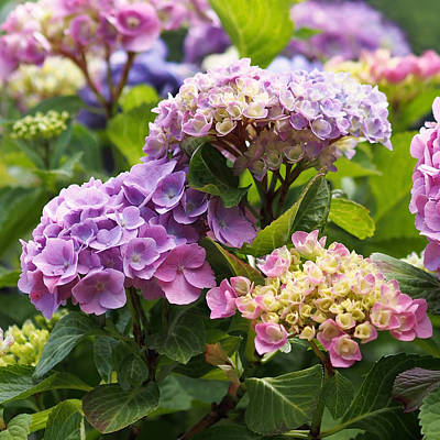 Colorful Hydrangea Blossoms Print by Rona Black