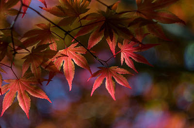 Kaleidoscope Photograph - Colorful Japanese Maple by Lori Coleman