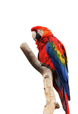 Bird Photograph - Colorful Portrait Of Scarlet Macaw - Ara Macao Art  by Wall Art Prints