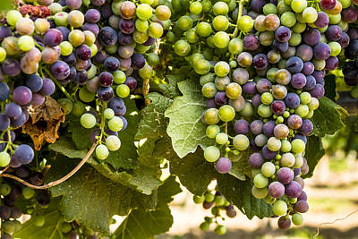 Colorful Red Wine Grape Print by Teri Virbickis