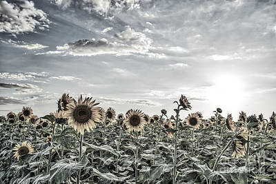 Sunflowers Photograph - Colorized Sunflowers Fields by Tod and Cynthia Grubbs