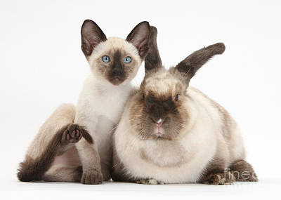 House Pet Photograph - Colorpoint Rabbit And Siamese Kitten by Mark Taylor