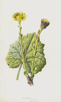 Daisies Drawing - Coltsfoot by Frederick Edward Hulme
