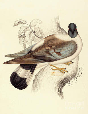 Leaf Drawing - Columba Leuconota, Snow Pigeon by Elizabeth Gould