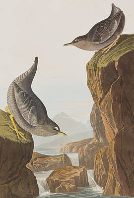Edge Drawing - Columbian Water Ouzel Or Arctic Water Ouzel by John James Audubon