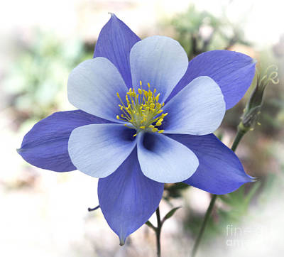 Columbine - Colorado State Flower Print by Dennis Wagner