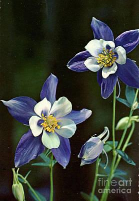 Columbine Flower  Print by Ruth Housley