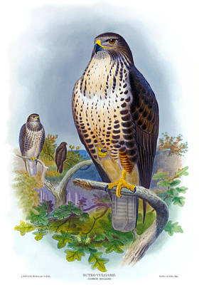Buzzard Drawing - Common Buzzard Antique Bird Print The Birds Of Great Britain by Joseph Wolf - HC Richter - John Gould