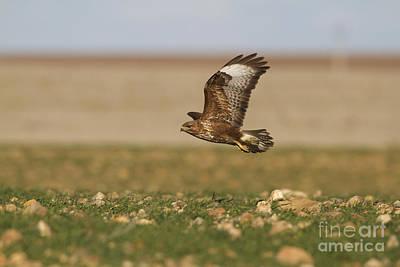 Buzzard Photograph - Common Buzzard by Roger Tidman/FLPA