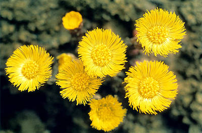 Spiral Photograph - Common Coltsfoot  by American School