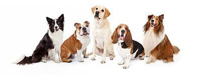 Sheltie Photograph - Common Family Dog Breeds Group by Susan Schmitz