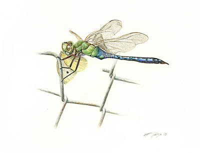 Fence Drawing - Common Green Darner by Logan Parsons