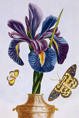 Irises Drawing - Common Iris With Butterflies by Pierre-Joseph Buchoz