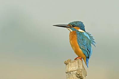 Common Kingfisher Original by Arghya Adhikary