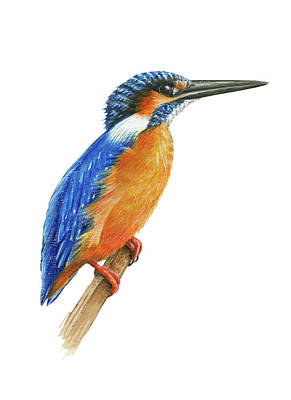 Kingfisher Drawing - Common Kingfisher by Lionel Portier