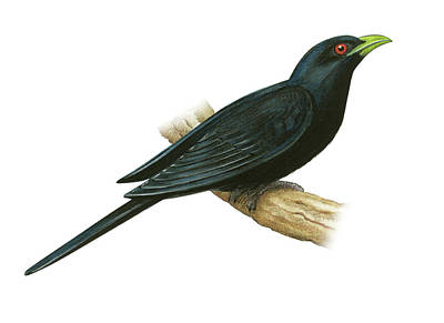 Cuckoo Drawing - Common Koel by Lionel Portier