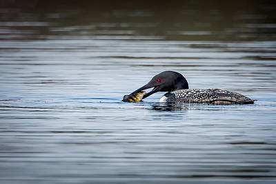 Loon Photograph - Common Loon by Bill Wakeley